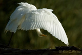 Grande aigrette - Great Egret - 22 photos