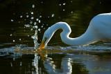 Grande aigrette - Splash#1 - #4615.jpg