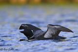 Plongeon huard - ailes ouvertes #9466.jpg