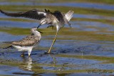 Petit Chevalier - Lesser Yellowlegs - 1 photo