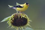 Chardonneret jaune mâle + tournesol #5674.jpg