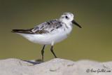 Bécasseau sanderling #4400.jpg