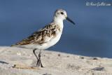 Bécasseau sanderling #4490.jpg