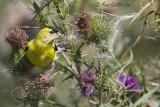 Chardonneret jaune mâle sur chardon #5955.jpg