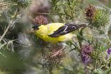 Chardonneret jaune mâle sur chardon #5949.jpg