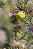 Chardonneret jaune mâle sur chardon #5900.jpg