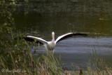 Pélican d'Amérique - American White Pelican - 3 photos