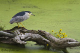 Bihoreau gris - Black-crowned Night-Heron - 4 photos