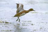 Canard d'Amérique femelle #7051.jpg