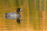 Petit fuligule - Lesser Scaup - 16 photos