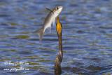 Anhinga  d'Amérique & poisson #6423.jpg