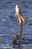 Anhinga dAmérique  & poisson #6422 .jpg