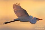 Grande aigrette - en vol ciel doré #1201-2 recadrée2.jpg