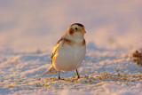 Bruant des neiges - Snow Bunting - 26 photos