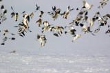 Bruant des neiges - décollage en groupe #0135.jpg