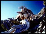 Bristlecone Piine Calif. USA