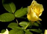 Herman Schimit Rose Bud