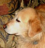 Millie 10 year old Golden