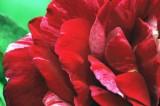 3191 red petal.