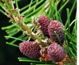 3063  Baby Pine Cones
