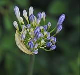 3217  Agapantha  Bloom