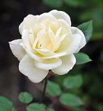 3199 White Rose
