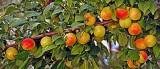 3234 Apricot/Plum