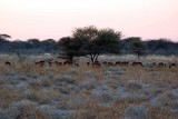 IMPALAS IN THE MORNING