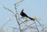 GREY GO - AWAY - BIRD