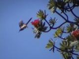 030107 c Gurney´s sugarbird Underberg-Sani Pass.jpg