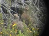 030107 eee Grey-winged francolin Underberg-Sani Pass.jpg