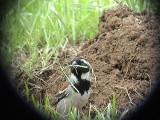 030108 k Cape sparrow Rob Guys trädgård.jpg