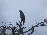 030111 f Southern-banded snake eagle Bonamanzi.jpg