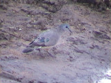 030112 d Emerald-spotted wood-dove Mkuze.jpg