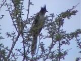 030112 f Jacobin cuckoo Mkuze.jpg