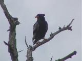 030115 h Bateleur Kruger NP.jpg