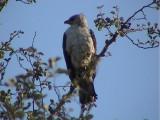 030116 aa Wahlberg´s eagle Kruger NP.jpg