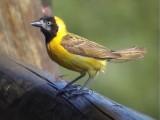 030116 e Lesser masked-weaver Kruger NP.jpg