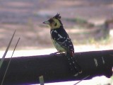 030116 gg Crested barbet Kruger NP.jpg