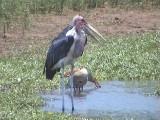 030116 l Marabou stork Kruger NP.jpg