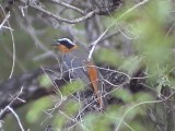 030116 m White-browed robin-chat Kruger NP.jpg