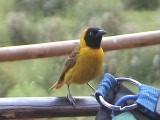 030117 b Lesser masked-weaver Kruger NP.jpg
