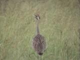 030117 dd Black-bellied bustard Kruger NP.jpg