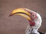 030117 q Southern yellow-billed hornbill Kruger NP.jpg