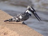 030117 yy Pied kingfisher Kruger NP.jpg