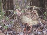 030118 bbb Crested francolin Kruger NP.jpg