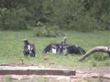 030118 j Lappet-faced vulture White-headed vulture Kruger NP.jpg