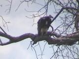 030118 kk White-headed vulture Kruger NP.jpg