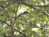 030118 o Chinspot batis Kruger NP.jpg