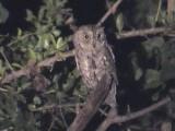 030118 qq African scops-owl Kruger NP.jpg
